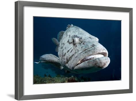 Potato Cod (Epinephelus Tuku) (Potato Grouper) (Potato Bass)-Louise Murray-Framed Art Print