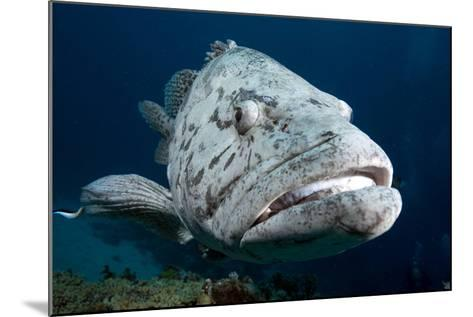Potato Cod (Epinephelus Tuku) (Potato Grouper) (Potato Bass)-Louise Murray-Mounted Photographic Print