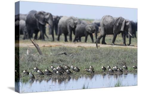 Red-Billed Teal (Anas Erythrorhyncha), Savuti Marsh, Chobe National Park, Botswana, Africa-Sergio Pitamitz-Stretched Canvas Print