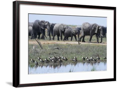 Red-Billed Teal (Anas Erythrorhyncha), Savuti Marsh, Chobe National Park, Botswana, Africa-Sergio Pitamitz-Framed Art Print