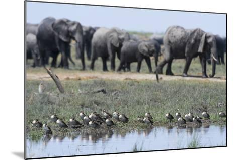 Red-Billed Teal (Anas Erythrorhyncha), Savuti Marsh, Chobe National Park, Botswana, Africa-Sergio Pitamitz-Mounted Photographic Print