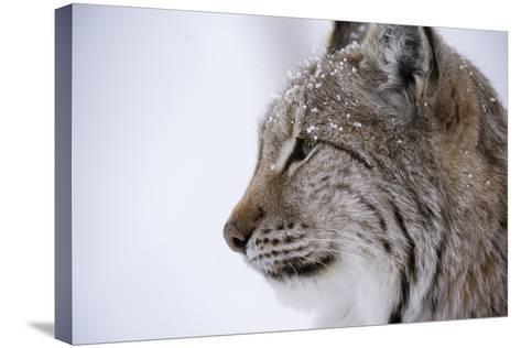 European Lynx (Lynx Lynx), Polar Park, Troms, Norway, Scandinavia-Sergio Pitamitz-Stretched Canvas Print