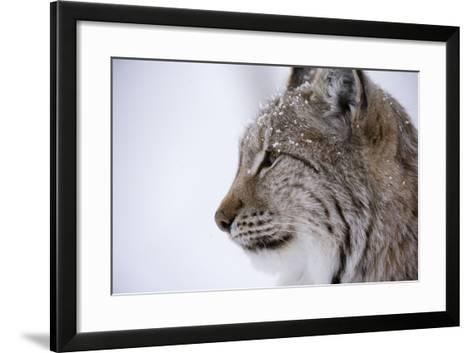 European Lynx (Lynx Lynx), Polar Park, Troms, Norway, Scandinavia-Sergio Pitamitz-Framed Art Print