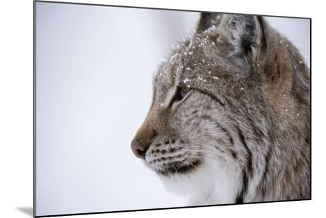 European Lynx (Lynx Lynx), Polar Park, Troms, Norway, Scandinavia-Sergio Pitamitz-Mounted Photographic Print