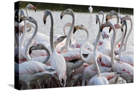 Greater Flamingo (Phoenicopterus Roseus), Camargue, Provence-Alpes-Cote D'Azur, France, Europe-Sergio Pitamitz-Stretched Canvas Print
