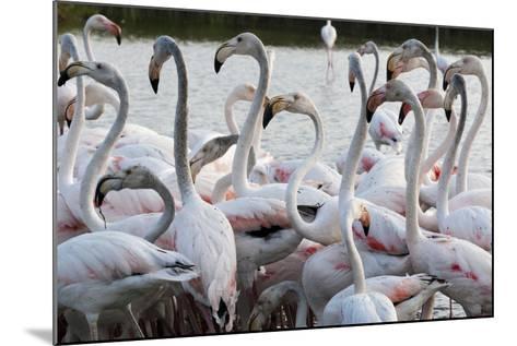 Greater Flamingo (Phoenicopterus Roseus), Camargue, Provence-Alpes-Cote D'Azur, France, Europe-Sergio Pitamitz-Mounted Photographic Print