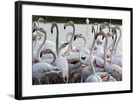 Greater Flamingo (Phoenicopterus Roseus), Camargue, Provence-Alpes-Cote D'Azur, France, Europe-Sergio Pitamitz-Framed Art Print