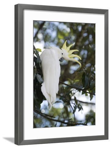 Greater Sulphur-Crested Cockatoo (Cacatua Galerita), Queensland, Australia, Pacific-Louise Murray-Framed Art Print