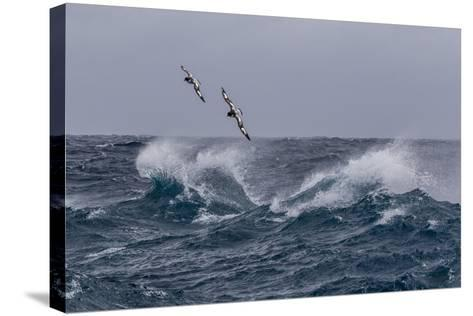 Adult Cape Petrels (Daption Capense) in Rough Seas in English Strait-Michael Nolan-Stretched Canvas Print