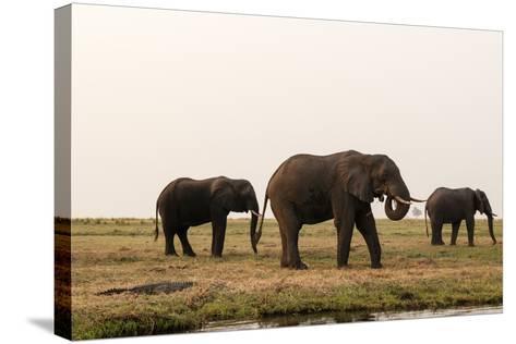 African Elephants (Loxodonta Africana), Chobe National Park, Botswana, Africa-Sergio Pitamitz-Stretched Canvas Print