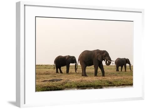 African Elephants (Loxodonta Africana), Chobe National Park, Botswana, Africa-Sergio Pitamitz-Framed Art Print