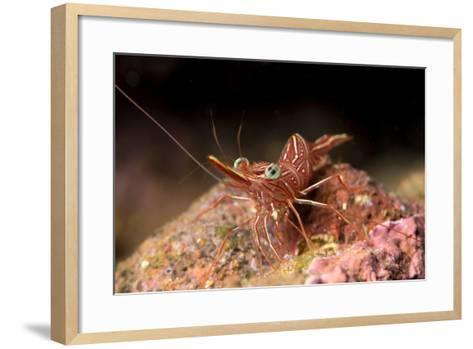 Hinge Beak Shrimp (Hinge Beak Prawn) (Rhynchocinetes Sp.) Emerges to Feed at Night-Louise Murray-Framed Art Print