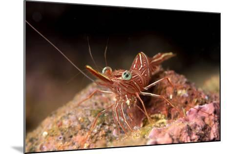 Hinge Beak Shrimp (Hinge Beak Prawn) (Rhynchocinetes Sp.) Emerges to Feed at Night-Louise Murray-Mounted Photographic Print