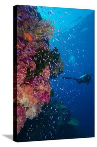 Colourful Reef Fish (Orange and Purple Anthias Sp.) Plus with Hard and Soft Corals on Reef Wall-Louise Murray-Stretched Canvas Print