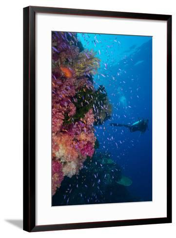 Colourful Reef Fish (Orange and Purple Anthias Sp.) Plus with Hard and Soft Corals on Reef Wall-Louise Murray-Framed Art Print