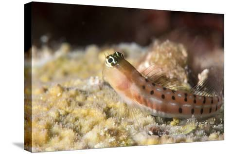 Blenny (Ecsenius Sp.), Queensland, Australia, Pacific-Louise Murray-Stretched Canvas Print