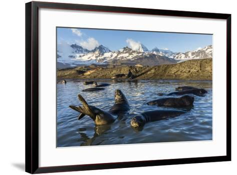 Southern Elephant Seal Pups (Mirounga Leonina), in Melt Water Pond, St. Andrews Bay, South Georgia-Michael Nolan-Framed Art Print