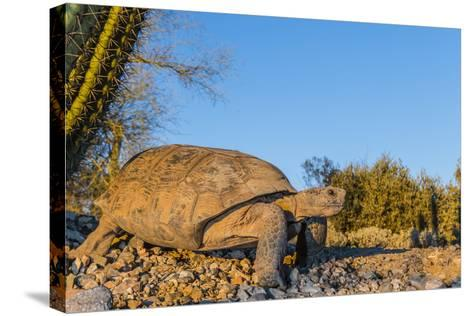 Adult Captive Desert Tortoise (Gopherus Agassizii) at Sunset at the Arizona Sonora Desert Museum-Michael Nolan-Stretched Canvas Print