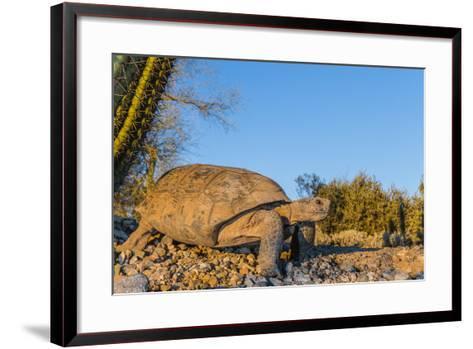 Adult Captive Desert Tortoise (Gopherus Agassizii) at Sunset at the Arizona Sonora Desert Museum-Michael Nolan-Framed Art Print