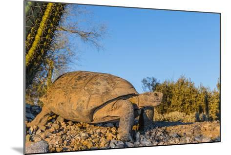 Adult Captive Desert Tortoise (Gopherus Agassizii) at Sunset at the Arizona Sonora Desert Museum-Michael Nolan-Mounted Photographic Print