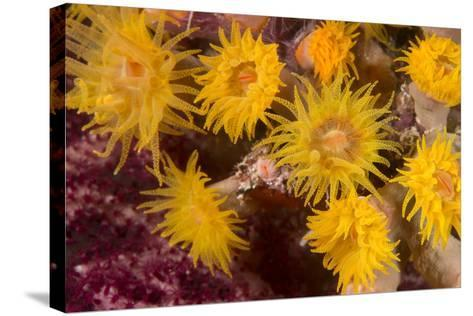 Cave Coral (Tubastrea Sp.) (Dendrophyllidae) Polyps Extended and Feeding at Night-Louise Murray-Stretched Canvas Print