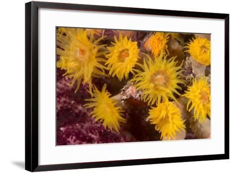 Cave Coral (Tubastrea Sp.) (Dendrophyllidae) Polyps Extended and Feeding at Night-Louise Murray-Framed Art Print