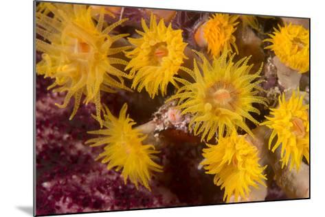 Cave Coral (Tubastrea Sp.) (Dendrophyllidae) Polyps Extended and Feeding at Night-Louise Murray-Mounted Photographic Print