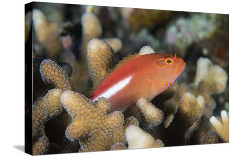Arc-Eye Hawkfish (Paracirrhites Arcatus), Matangi Island, Vanua Levu, Fiji, Pacific-Louise Murray-Stretched Canvas Print