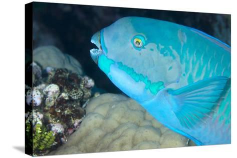 Indian Steephead Parrotfish (Scarus Strongycephalus), Beak Open Feeding, Queensland, Australia-Louise Murray-Stretched Canvas Print