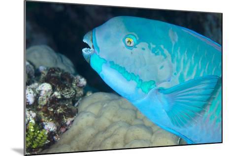 Indian Steephead Parrotfish (Scarus Strongycephalus), Beak Open Feeding, Queensland, Australia-Louise Murray-Mounted Photographic Print