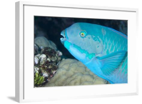 Indian Steephead Parrotfish (Scarus Strongycephalus), Beak Open Feeding, Queensland, Australia-Louise Murray-Framed Art Print