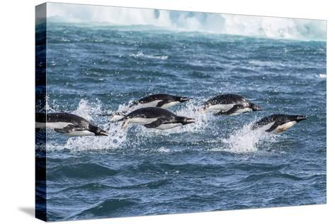 Adelie Penguins (Pygoscelis Adeliae) Porpoising at Sea at Brown Bluff, Antarctica, Southern Ocean-Michael Nolan-Stretched Canvas Print