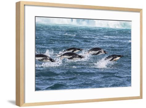 Adelie Penguins (Pygoscelis Adeliae) Porpoising at Sea at Brown Bluff, Antarctica, Southern Ocean-Michael Nolan-Framed Art Print