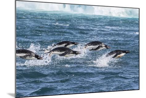 Adelie Penguins (Pygoscelis Adeliae) Porpoising at Sea at Brown Bluff, Antarctica, Southern Ocean-Michael Nolan-Mounted Photographic Print