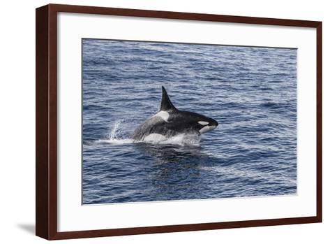 Adult Bull Type a Killer Whale (Orcinus Orca) Power Lunging in the Gerlache Strait, Antarctica-Michael Nolan-Framed Art Print