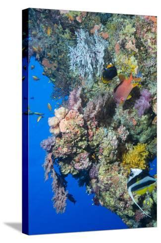 Colourful, Coral Covered Reef Wall at Osprey Reef, Longfin Banner Fish (Heniochus Acuminatus)-Louise Murray-Stretched Canvas Print