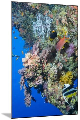 Colourful, Coral Covered Reef Wall at Osprey Reef, Longfin Banner Fish (Heniochus Acuminatus)-Louise Murray-Mounted Photographic Print