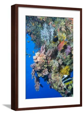 Colourful, Coral Covered Reef Wall at Osprey Reef, Longfin Banner Fish (Heniochus Acuminatus)-Louise Murray-Framed Art Print