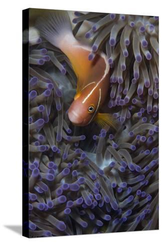 Pink Anenomefish (Amphoprion Perideraion) Dominant Female-Louise Murray-Stretched Canvas Print