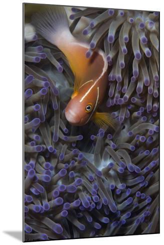 Pink Anenomefish (Amphoprion Perideraion) Dominant Female-Louise Murray-Mounted Photographic Print