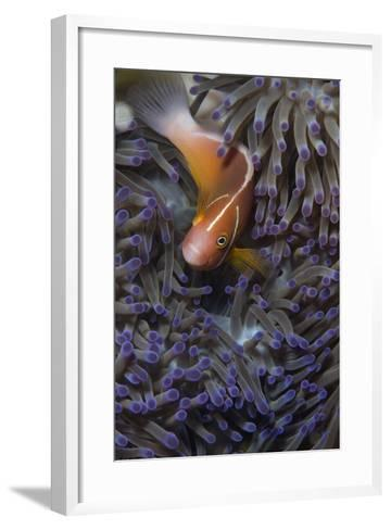 Pink Anenomefish (Amphoprion Perideraion) Dominant Female-Louise Murray-Framed Art Print