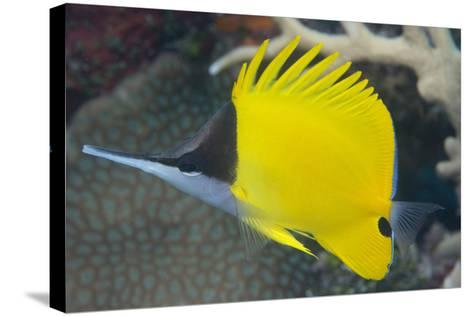 Longnose Butterflyfish (Forcipiger Flavissimus)-Louise Murray-Stretched Canvas Print