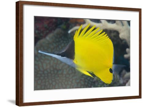 Longnose Butterflyfish (Forcipiger Flavissimus)-Louise Murray-Framed Art Print
