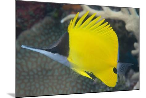 Longnose Butterflyfish (Forcipiger Flavissimus)-Louise Murray-Mounted Photographic Print