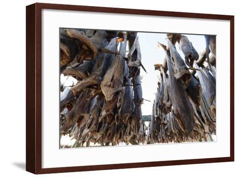 Cod Fish Drying, Hamnoy, Lofoten Islands, Arctic, Norway, Scandinavia-Sergio Pitamitz-Framed Art Print