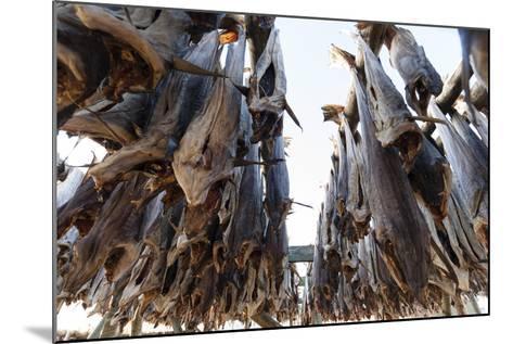 Cod Fish Drying, Hamnoy, Lofoten Islands, Arctic, Norway, Scandinavia-Sergio Pitamitz-Mounted Photographic Print