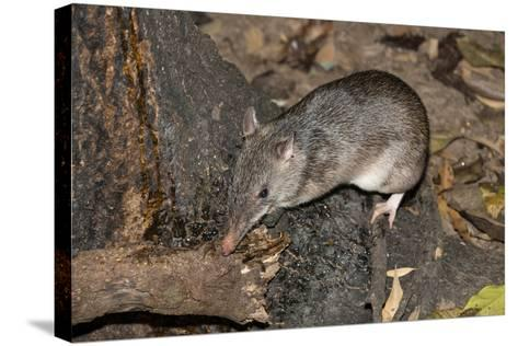 Long-Nosed Potaroo (Potorous Tridactylus) a Small Rodent Like Marsupial-Louise Murray-Stretched Canvas Print