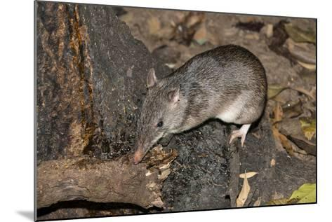 Long-Nosed Potaroo (Potorous Tridactylus) a Small Rodent Like Marsupial-Louise Murray-Mounted Photographic Print