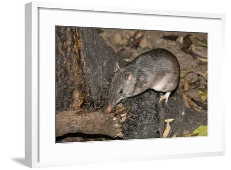 Long-Nosed Potaroo (Potorous Tridactylus) a Small Rodent Like Marsupial-Louise Murray-Framed Art Print