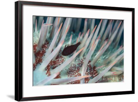 Small Fish Hides in the Venomous Spines of a Crown of Thorns Starfish (Acanthaster Planci)-Louise Murray-Framed Art Print